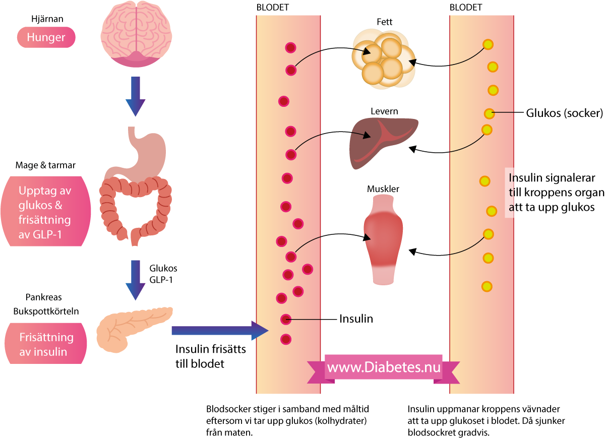 Förloppet när vi äter mat så ökar nivån av kolhydrater (glukos) i blodet. Dessutom ökar nivån av vissa hormoner, särskilt GLP-1, när vi äter mat. Glukos och GLP-1 stimulerar bukspottkörteln (pankreas) som då frisätter hormonet insulin. Insulin leder till att kroppens celler förbereder sig på att ta in och använda glukos och samtidigt avbryts nedbrytning av fett. Här på bilden ses hur insulin kommer ut i blodet och signalerar till muskler, fett och lever att ta upp glukoset som finns i blodet.