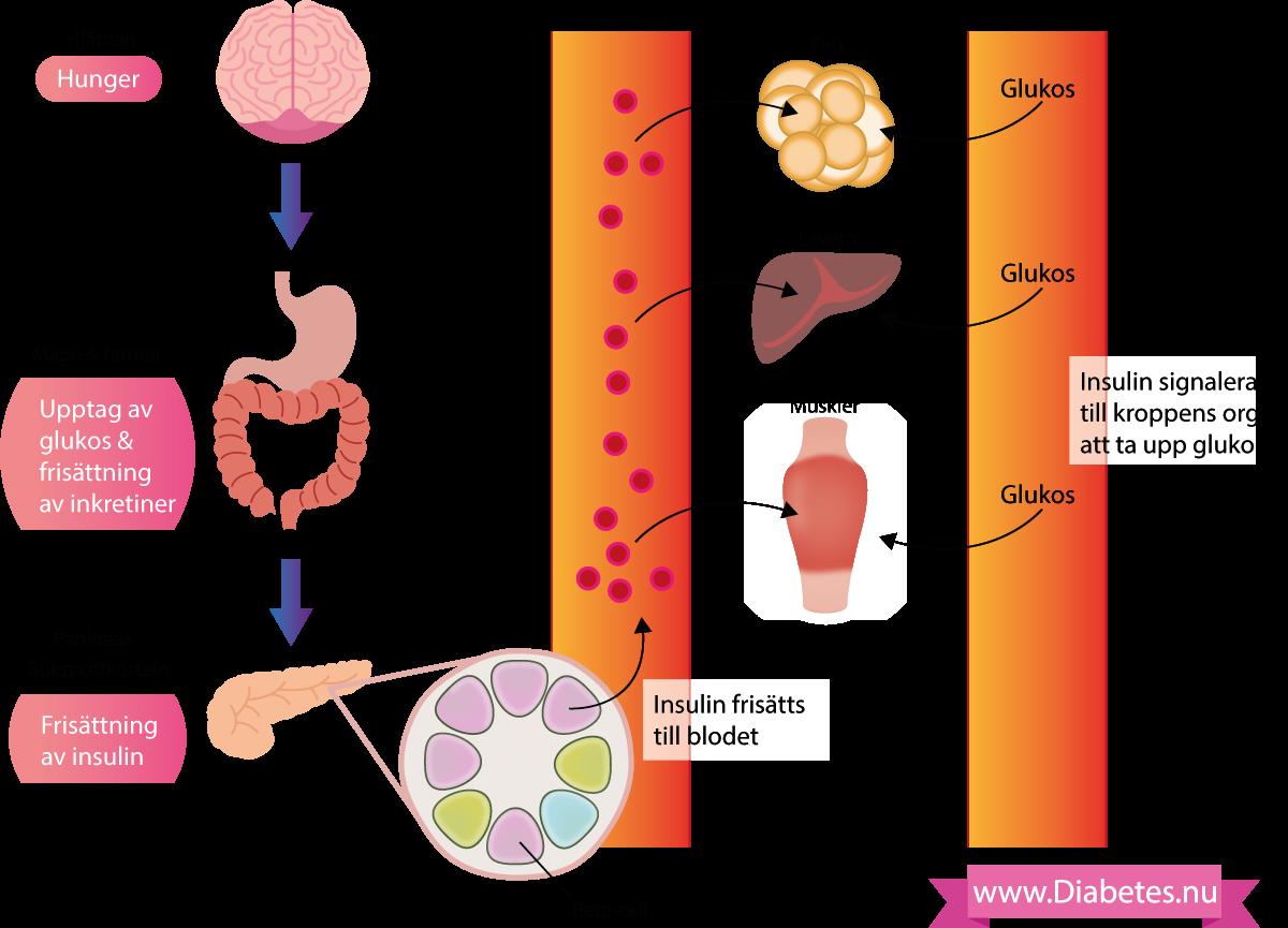 Illustration av hur socker (glukos) tas upp i mag-tarmkanalen och sedermera stimulerar buskpottkörtelns beta-celler till att frisätta insulin. Insulinet hamnar i blodomloppet och når därmed fett, lever och muskler (som är de mest insulinkänsliga vävnaderna). Muskler, fett och lever reagerar på insulinet genom att importera glukos (bland annat). Så när vi äter mat stiger blodsockret eftersom glukos (socker) tas upp i tarmarna men efter en stund sjunker blodsockret igen eftersom insulinet ser till att vävnaderna tar upp sockret.