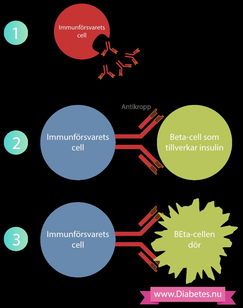 Denna bilden visar hur immunförsvarets celler tillverkar antikroppar som sedan fäster till beta-cellerna. Antikropparna lockar andra immunceller och dessa celler döda beta-cellerna. Då kan man inte längre tillverka insulin och man får typ 1 diabetes.