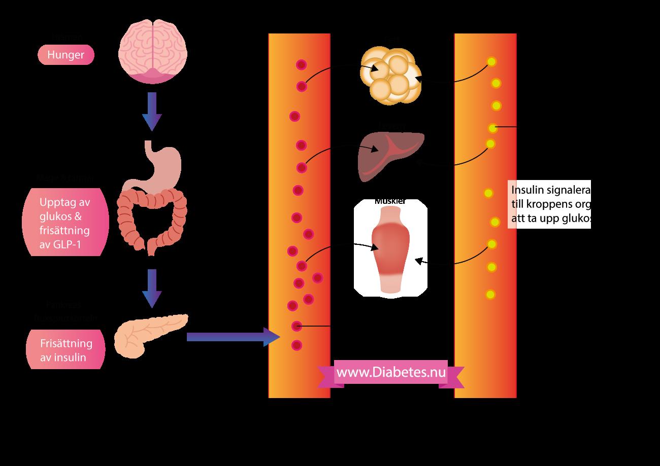 """Denna bild visar hur insulin frisätts till blodet i samband med en måltid. När man äter mat så hamnar slutligen glukos (druvsocker) och GLP-1 i blodet och dessa ämnen signalerar till brukspottkörteln (pankreas) att den skall frisätta insulin till kroppen. När insulin frisätts till kroppen så förbereder sig kroppen (särskilt muskler, fett och lever) på att ta upp glukos (druvsocker) och använda det som energikälla. Överskott av glukos kan lagras i levern och musklerna i form av """"glykogen""""."""