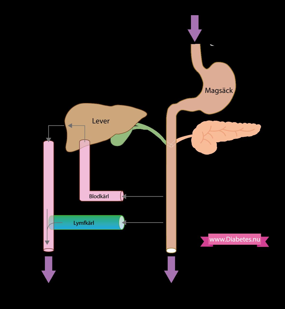 Upptag av fett, kolhydrater, protein i mag-tarmkanalen.
