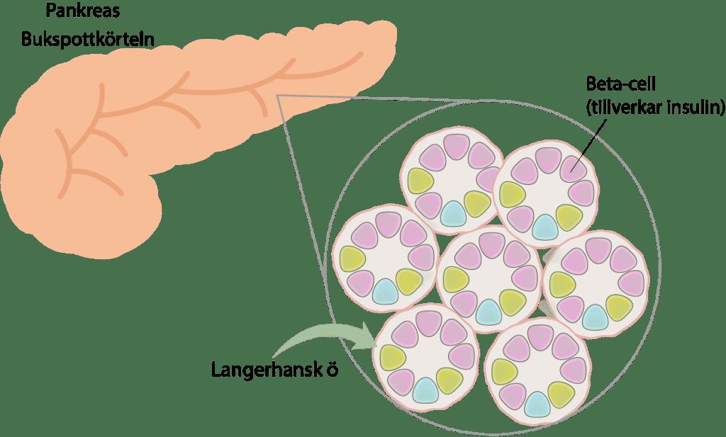 """I bukspottkorteln (pankreas) finns små enheter som kallas Langerhans öar. Dessa öar består av grupper av celler, varav en cell kallas """"beta cell"""". Beta-cellerna tillverka insulin som de frisätter till blodet. Frisättningen av insulin är särskilt uttalad i samband med en måltid. När insulin kommer ut i kroppen så påverkar det framförallt muskler, fett och lever. Dessa tre organ stimuleras av insulin så att de tar upp socker (glukos) som finns i blodet."""