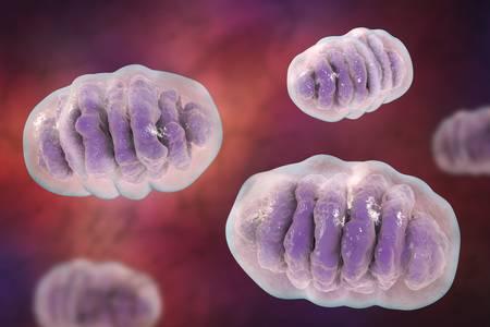 """Kroppens alla celler har små """"kärnkraft verk"""" som producerar energi åt kroppen, dessa strukturer kallas för mitokondrier. En restprodukt vid produktionen av biobränsle är just fria syreradikaler (ROS) som läcker ut ur mitokondrien och skadar cellerna övriga strukturer."""