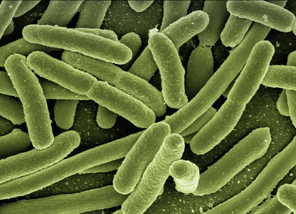 Tarmbakterier i form av E. coli