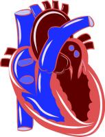 hjärtat-förmaksflimmer-förmak-kammare-diabetes